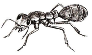 drawing-ant-6