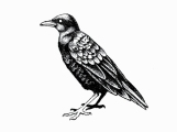 blacckbird_kerry_hugill_illust_bird_01