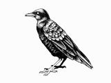 blacckbird_kerry_hugill_illust_bird_01